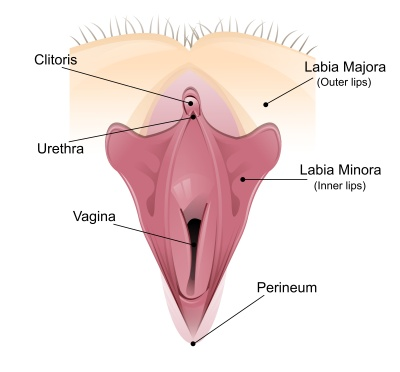 Vaginal detailed diagram
